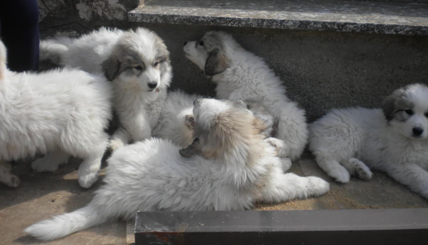Foto cuccioli pastore dei pirenei 61