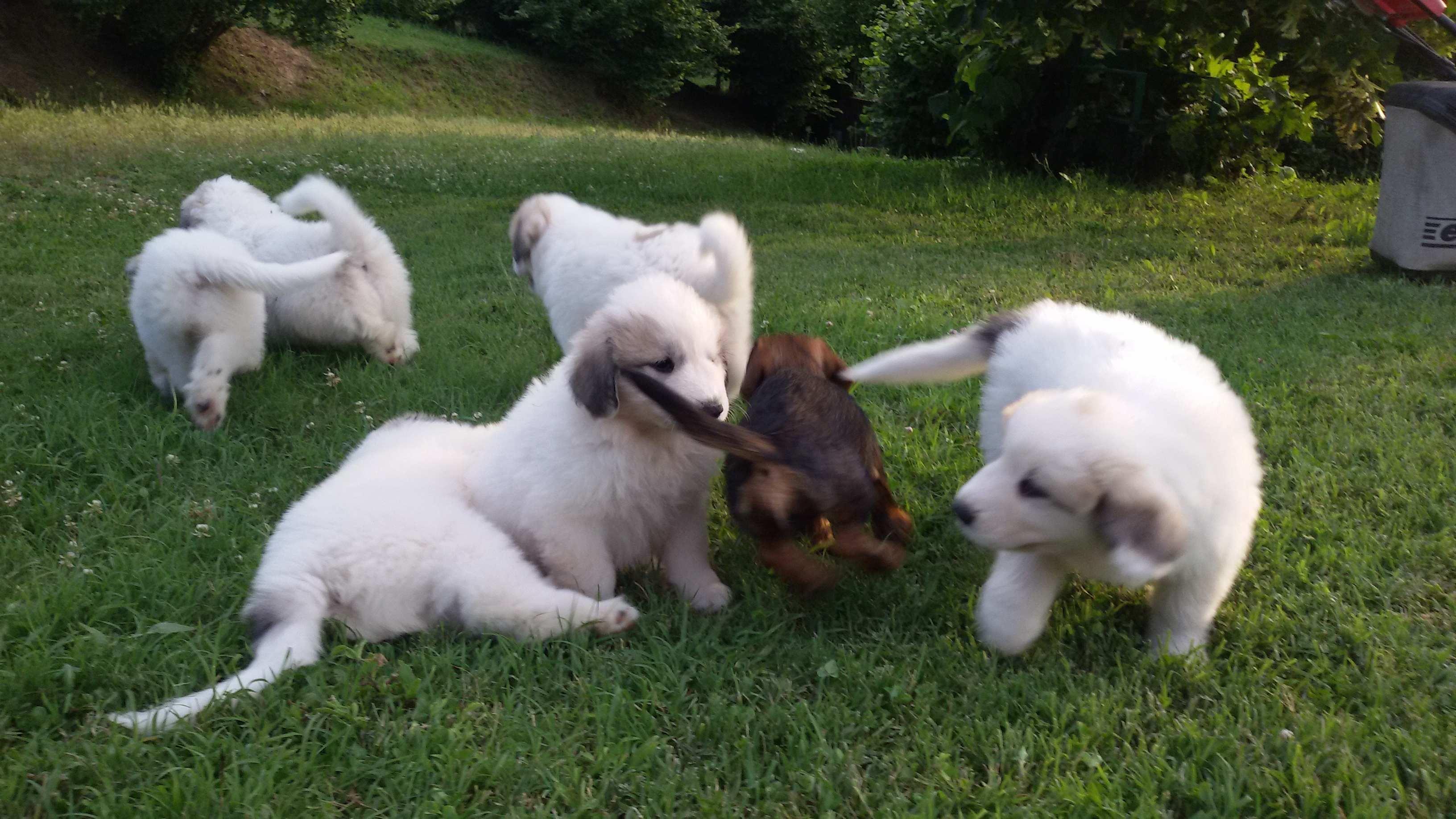 Foto cuccioli pastore dei pirenei 90