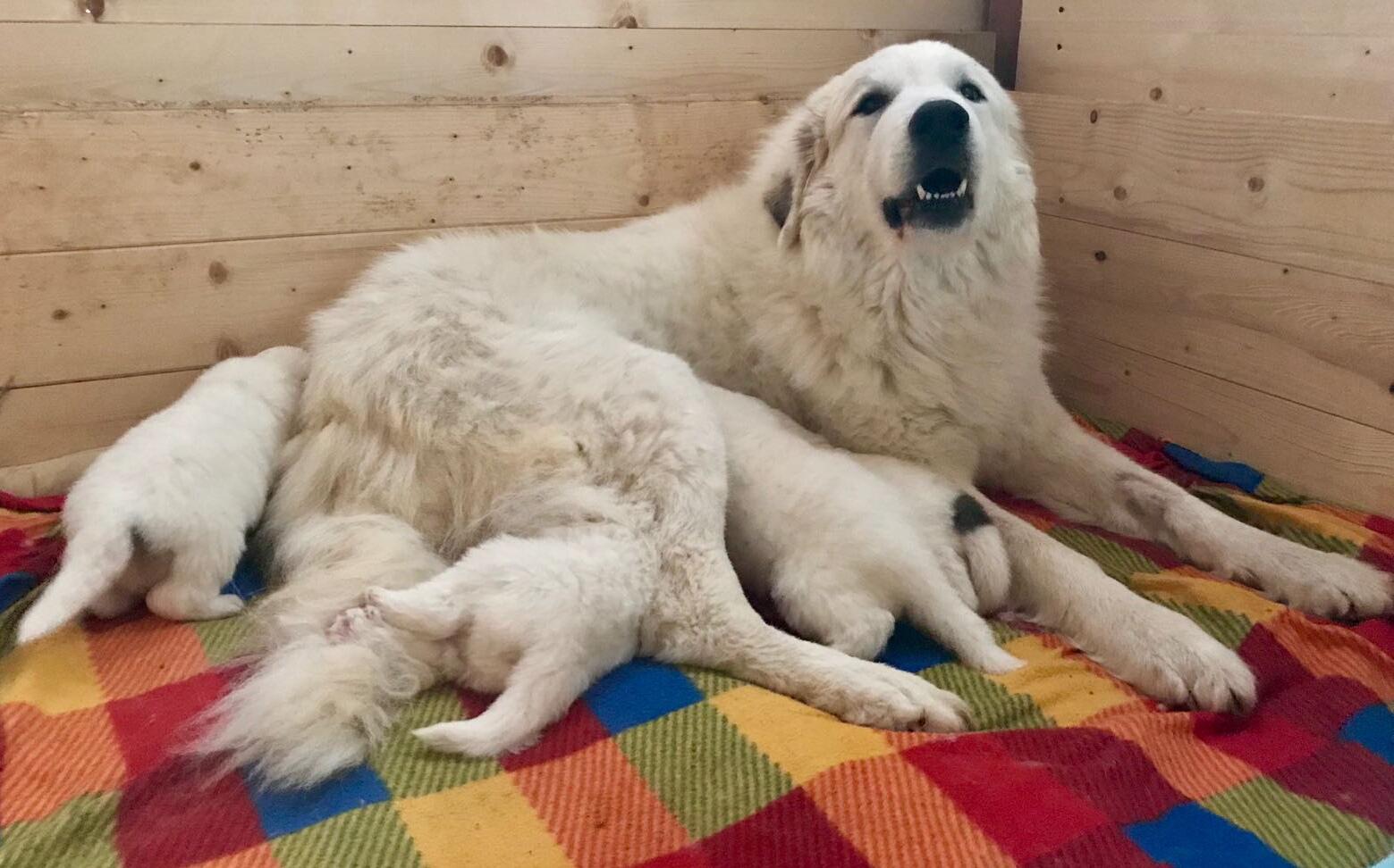 Cane da montagna dei Pirenei BANDIERA patriottico II